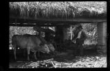 Trapiche de caña en Cundinamarca. Foto 2